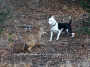 coyote and dog face each other questioningly