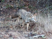 coyote flees as owner approaches
