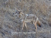coyote hurries in dog's direction