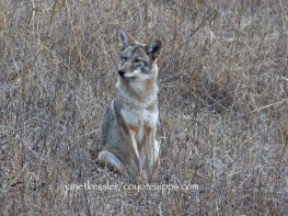 coyote watches dog pass on by