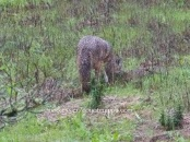 burying the gopher