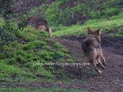 When young male closes the gap between himself and the new coyote, she begins running with a cat-like arched back, lips pulled back and tail tucked under