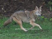 lickety-split -- off she runs