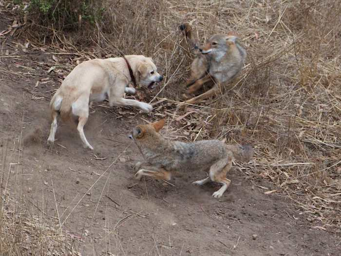 A Young Male Coyote Shows His Mettle Coyote Yipps