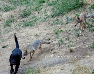 "coyote approaching rear end of dog for ""messaging"""