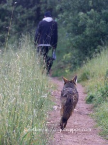 "Coyote approaching and following a dog and walker: be prepared for their need to ""message."""