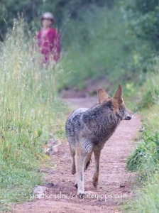 Stopping, facing the coyote eyeball to eyeball, stepping in its direction and clapping will get it to move away