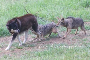 """coyote """"messages"""" a dog"""