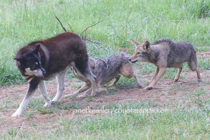 Coyote Attacks And The Media Or Messaging Coyote Yipps