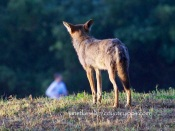 coyote watches joggers