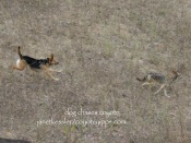 dog chases coyote
