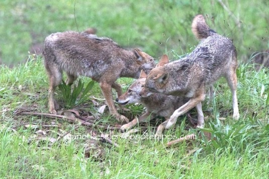 Two coyotes approach and help another coyote who showed signs of irritation and distress on her neck area