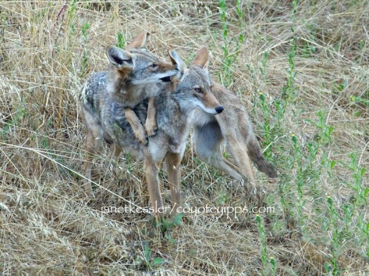 Two coyotes snuggle together, one affectionately licking the others' ear