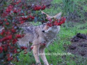 Coyote youngster hides behind bushes