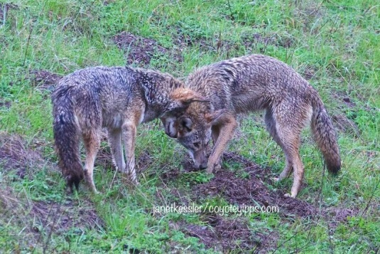 Coyote mated pair hunt together.