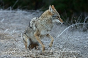 coyote shows her anxiety and displeasure with a dog by jumping up and down