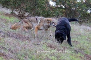 coyote messaging a dog -- the dog should have been kept away from the coyote