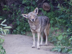 a coyote standing on a pathway, watching