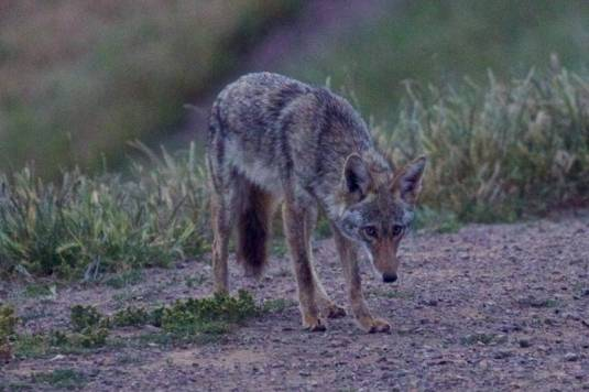 our Bernal coyote at dawn