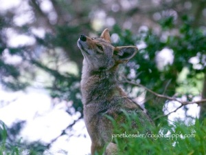 coyotes in our parks