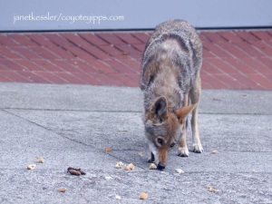 feeding coyotes is not good