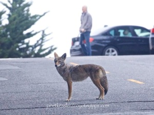 a habituated coyote is not a dangerous coyote
