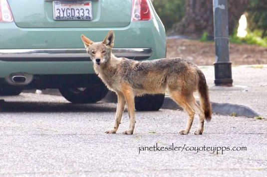 A father coyote does his job in attempting to keep a pupping area safe