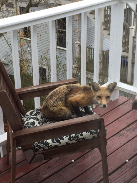 Enjoyable Urban Foxes In Provincetown Coyote Yipps Alphanode Cool Chair Designs And Ideas Alphanodeonline
