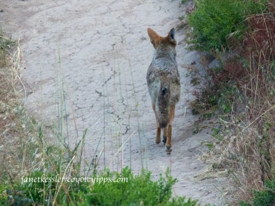 coyote hurries on her way along a path