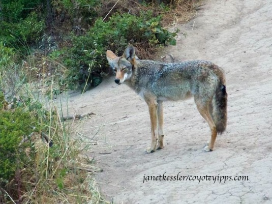 coyote looks at me several times and then she squints at me -- it's a communication