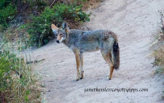 coyote stops and turns to look at me