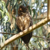 Great Horned Owl, for comparison