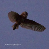 "Barn Owl ""moths"" over me"