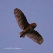 Barn owl fluttering/mothing over me