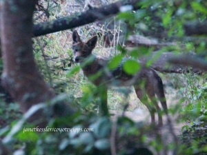 I see him through the trees, trotting away to join his mate after howling