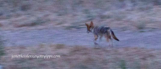 The coyote hurries on and into the brush