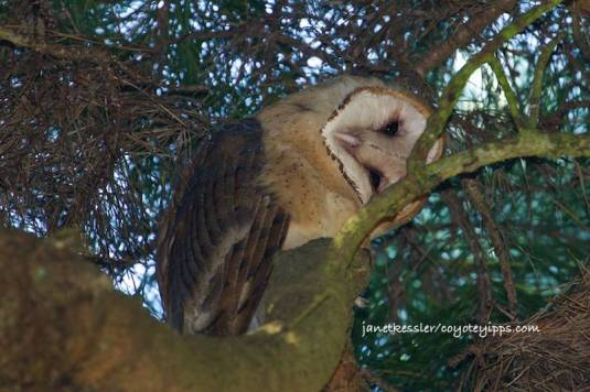 Tyto Alba or Barn Owl (click on the individual photos to enlarge them)