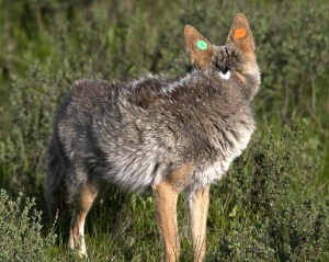 Tagged and radio-collared coyote