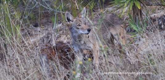 Male coyote looks worriedly over his should at people and dogs coming towards him on a path. He trots on to avoid them as they get closer.