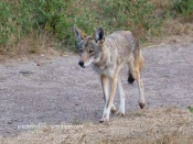 Mr. Coyote appears in the park after I lost track of him