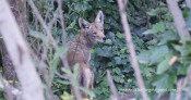 This coyote has jumped off the trail and into the bushes to avoid a runner. The runner was thrilled to see him.