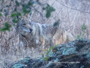 But the coyote did not flee -- he stayed and watched them move away