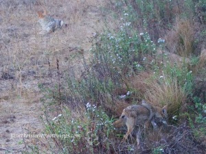 male coyote lies down to watch as female proceeds with her hunting