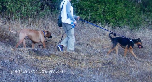 A third dog-walker whose dogs growled at the coyote. She walked them on, and away from the coyote.