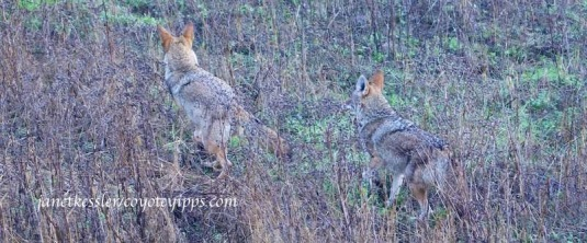As dog and owner leave, coyotes follow -- their interest has been piqued by the dog's interest in them.