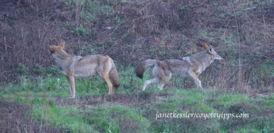 One coyote watches to make sure dog/owner have left; the other coyote sniffs and kicks up some dirt -- it's a message to leave them alone.