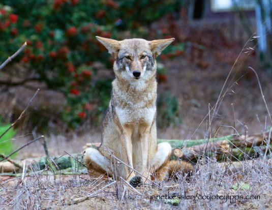 kesslerjanet_coyote-sitting-cross-legged