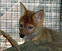 coyote-baby_lhp0345
