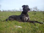 genuine-deerhound-x-greyhound-52038235ad325