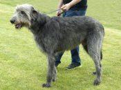 irischer Wolfshund,